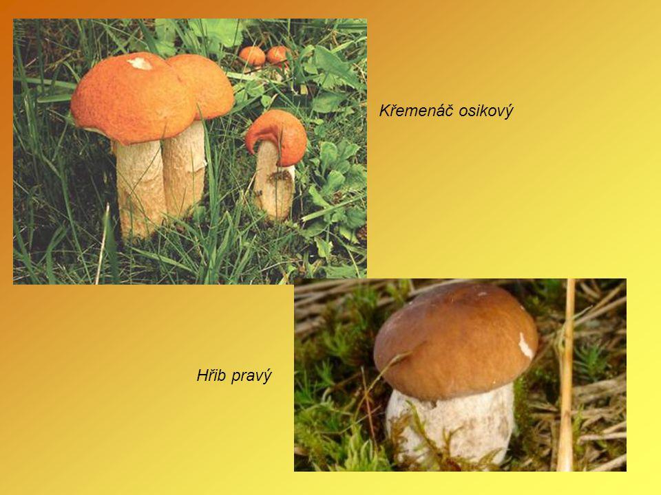 Nejedlé houby Hřib hořký - satan