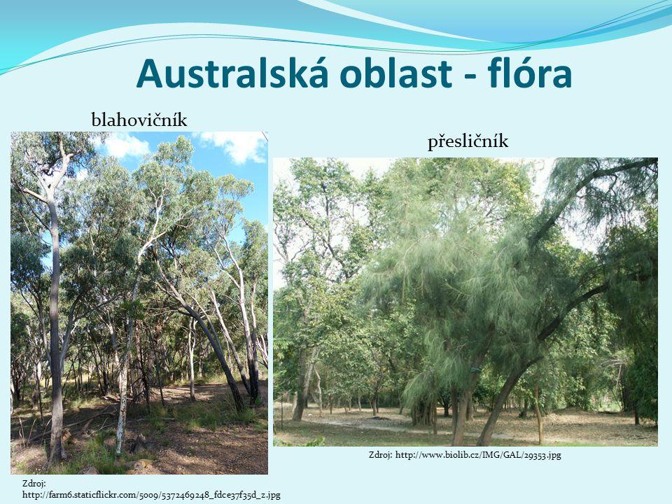 Australská oblast - flóra Zdroj: http://farm6.staticflickr.com/5009/5372469248_fdce37f35d_z.jpg blahovičník přesličník Zdroj: http://www.biolib.cz/IMG/GAL/29353.jpg