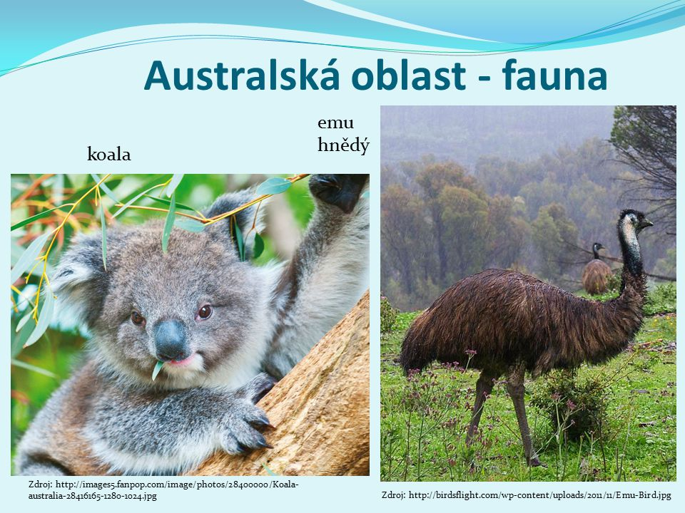 Australská oblast - fauna koala Zdroj: http://images5.fanpop.com/image/photos/28400000/Koala- australia-28416165-1280-1024.jpg emu hnědý Zdroj: http://birdsflight.com/wp-content/uploads/2011/11/Emu-Bird.jpg