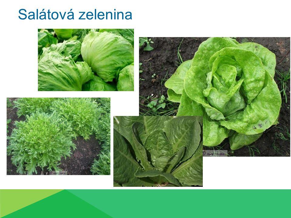 Salát hlávkový (Lactuca sativa)  Raná zelenina  Jednoletá plodina  Konzumace za studena  Přízemní růžice  Okrouhlé listy stočené do hlávky  Hlávka uvnitř zelenožlutá  Přerůstá v květní lodyhu  Výška 1m, žlutý kvítek Odrůda salátu Amur