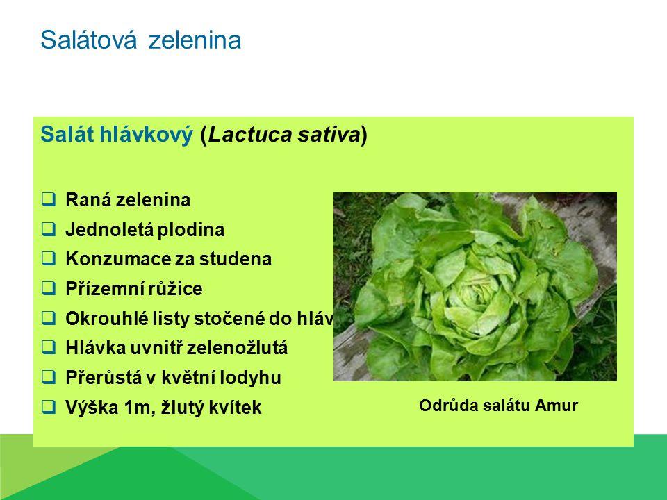 Salát hlávkový (Lactuca sativa)  Raná zelenina  Jednoletá plodina  Konzumace za studena  Přízemní růžice  Okrouhlé listy stočené do hlávky  Hláv