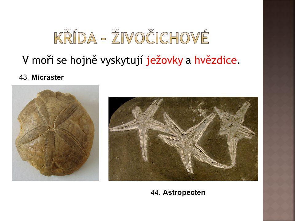 V moři se hojně vyskytují ježovky a hvězdice. 43. Micraster 44. Astropecten