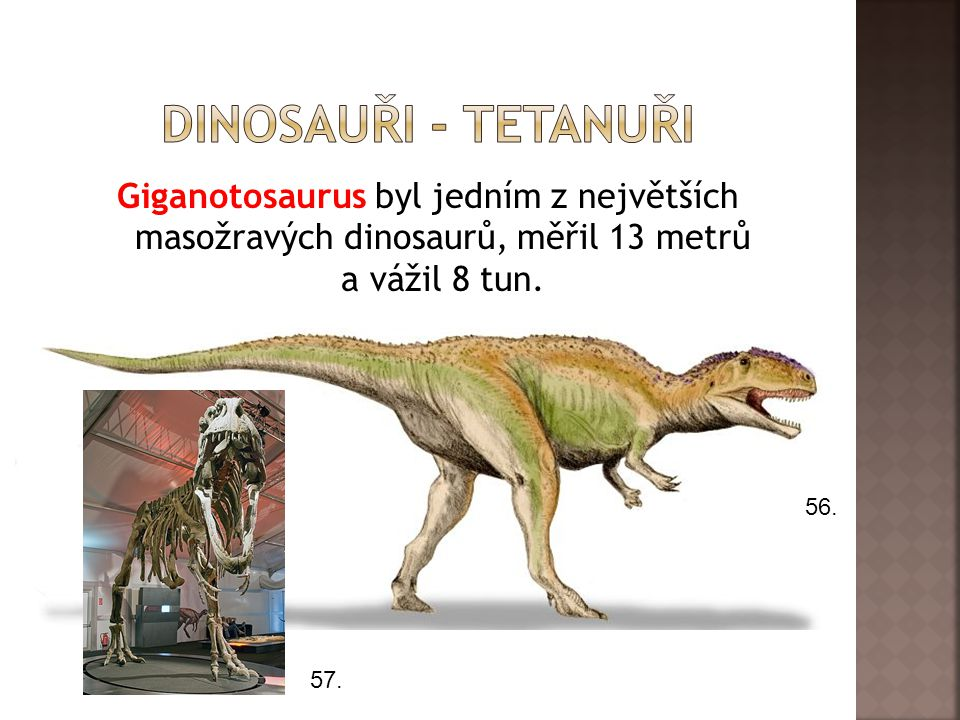 Giganotosaurus byl jedním z největších masožravých dinosaurů, měřil 13 metrů a vážil 8 tun. 56. 57.