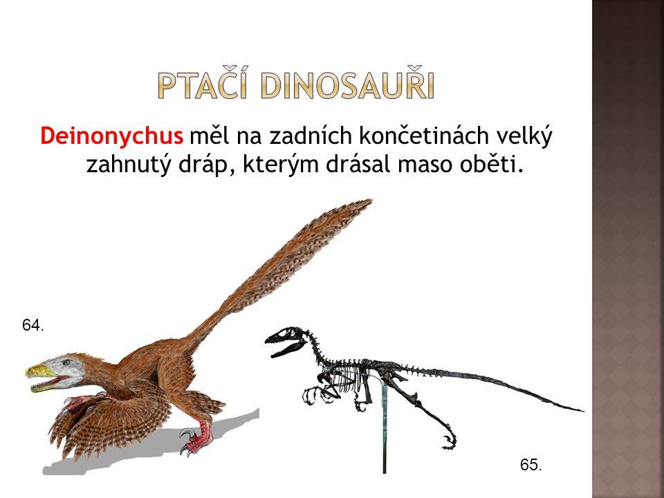 Deinonychus měl na zadních končetinách velký zahnutý dráp, kterým drásal maso oběti. 64. 65.