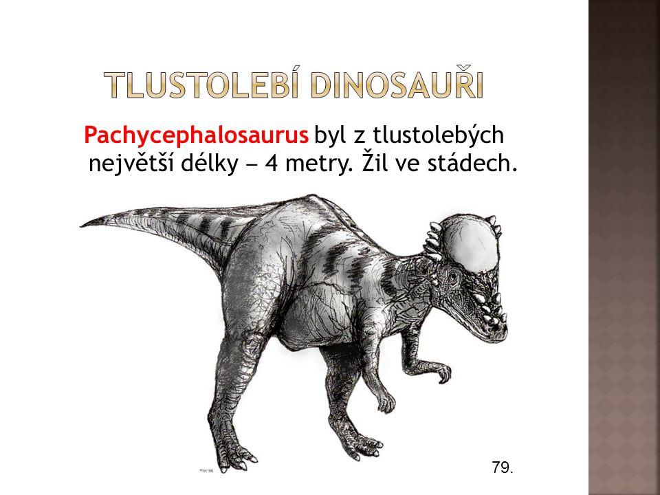 Pachycephalosaurus byl z tlustolebých největší délky ‒ 4 metry. Žil ve stádech. 79.