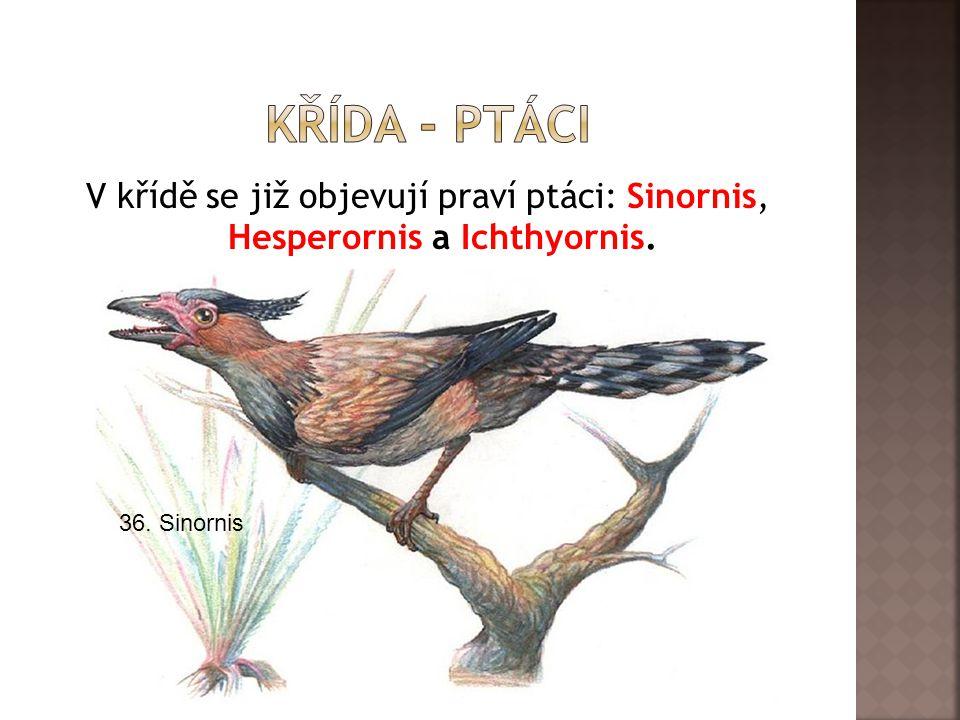 V křídě se již objevují praví ptáci: Sinornis, Hesperornis a Ichthyornis. 36. Sinornis