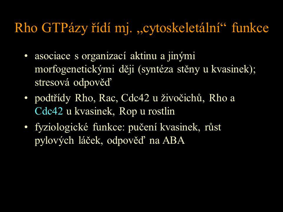 """Rho GTPázy řídí mj. """"cytoskeletální"""" funkce asociace s organizací aktinu a jinými morfogenetickými ději (syntéza stěny u kvasinek); stresová odpověď p"""