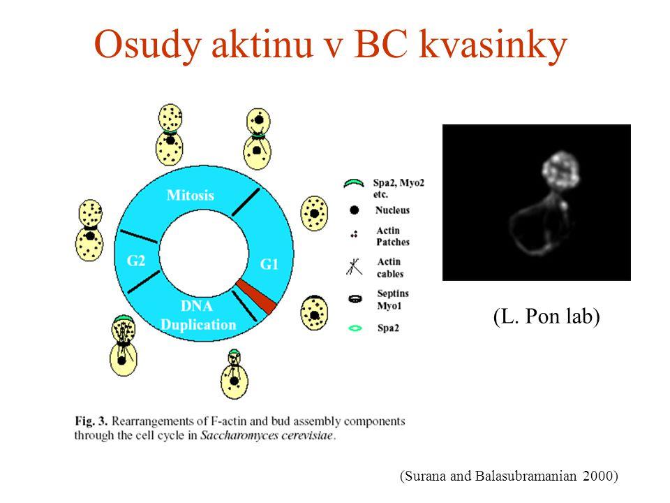 Osudy aktinu v BC kvasinky (L. Pon lab) (Surana and Balasubramanian 2000)