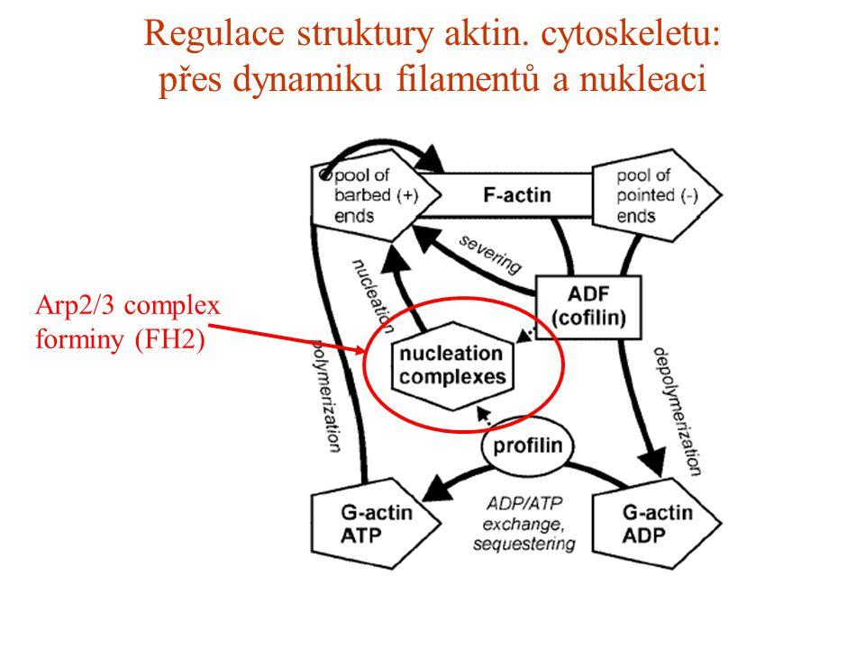 Regulace struktury aktin. cytoskeletu: přes dynamiku filamentů a nukleaci Arp2/3 complex forminy (FH2)