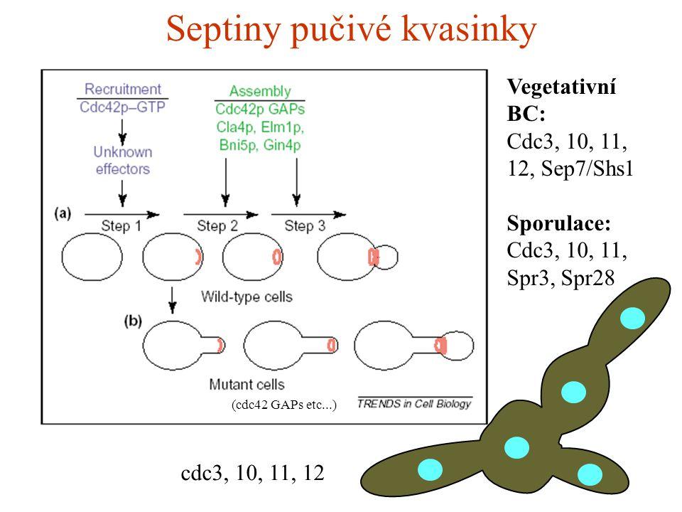 Septiny pučivé kvasinky (cdc42 GAPs etc...) Vegetativní BC: Cdc3, 10, 11, 12, Sep7/Shs1 Sporulace: Cdc3, 10, 11, Spr3, Spr28 cdc3, 10, 11, 12