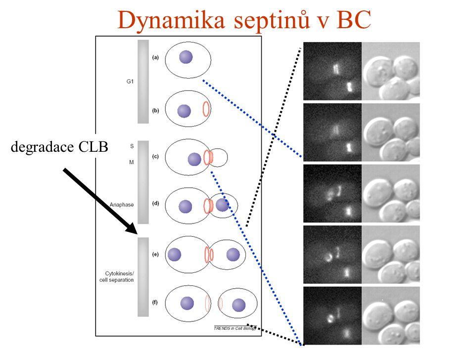 Dynamika septinů v BC degradace CLB