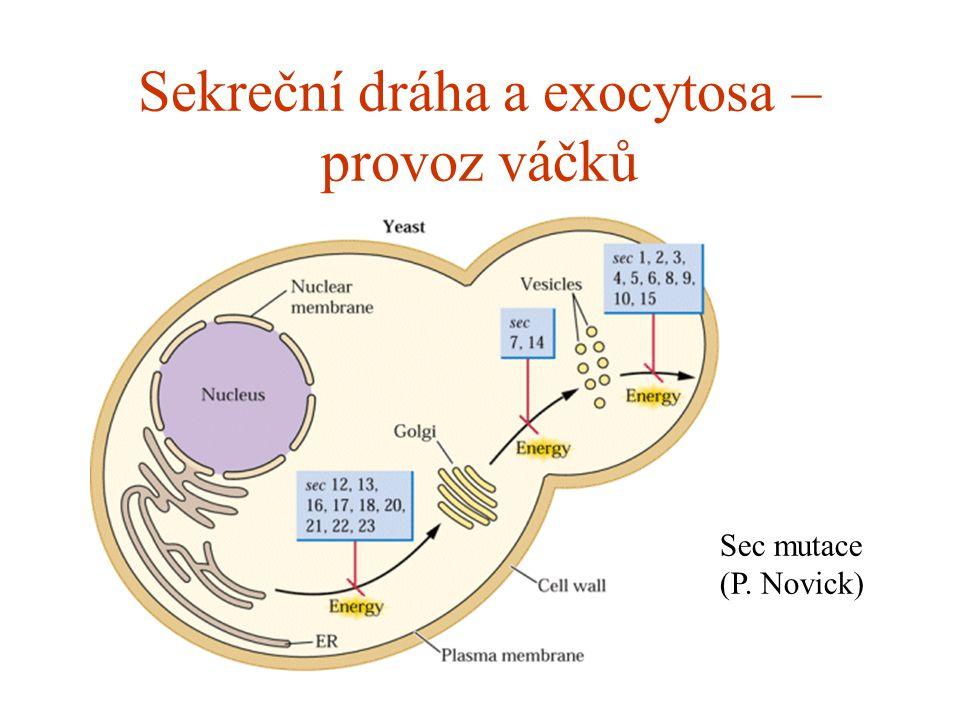 Sekreční dráha a exocytosa – provoz váčků Sec mutace (P. Novick)