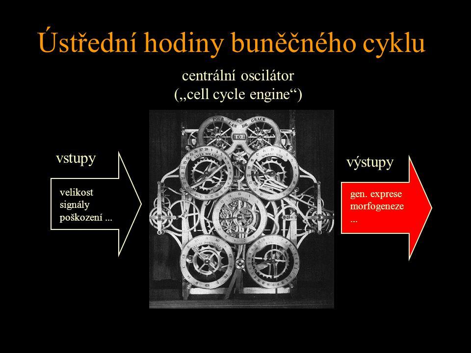 """Ústřední hodiny buněčného cyklu vstupy výstupy centrální oscilátor (""""cell cycle engine"""") velikost signály poškození... gen. exprese morfogeneze..."""