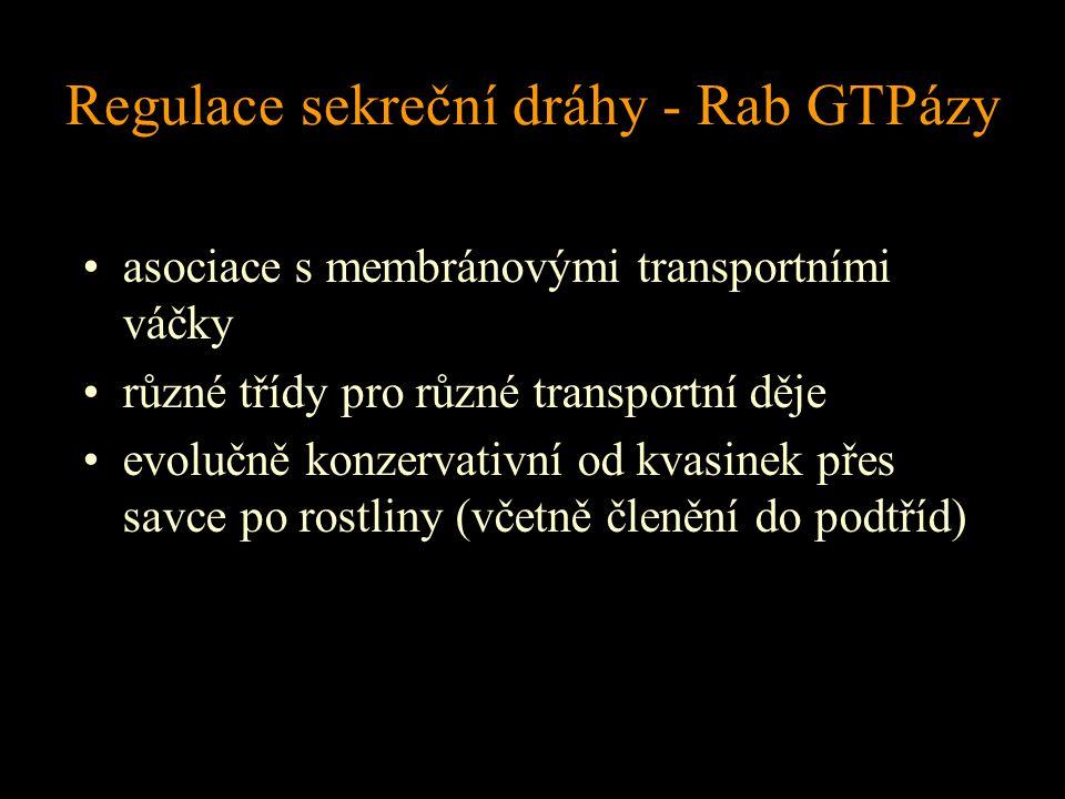 Regulace sekreční dráhy - Rab GTPázy asociace s membránovými transportními váčky různé třídy pro různé transportní děje evolučně konzervativní od kvas