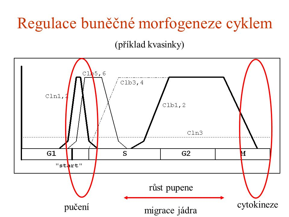Regulace buněčné morfogeneze cyklem (příklad kvasinky) pučení cytokineze růst pupene migrace jádra