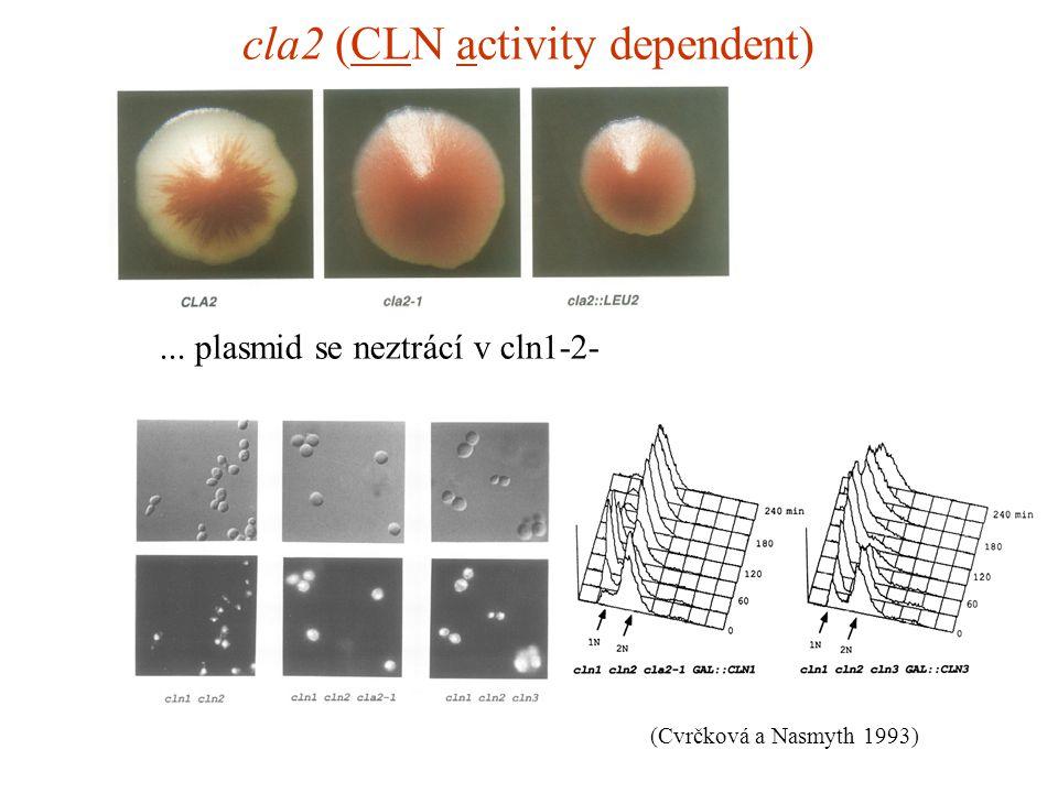 cla2 (CLN activity dependent)... plasmid se neztrácí v cln1-2- (Cvrčková a Nasmyth 1993)