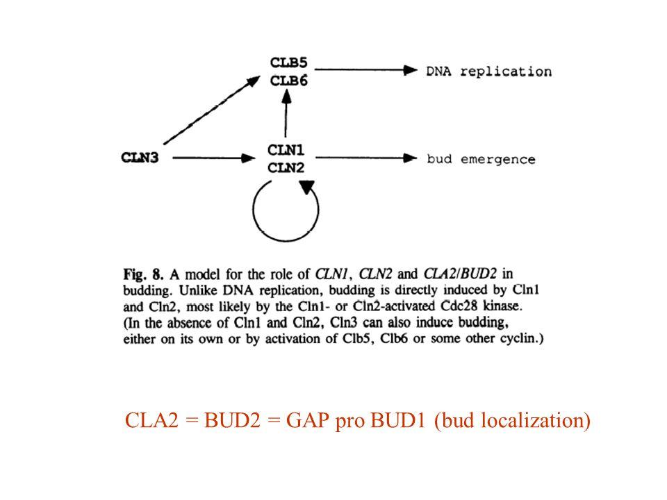 CLA2 = BUD2 = GAP pro BUD1 (bud localization)