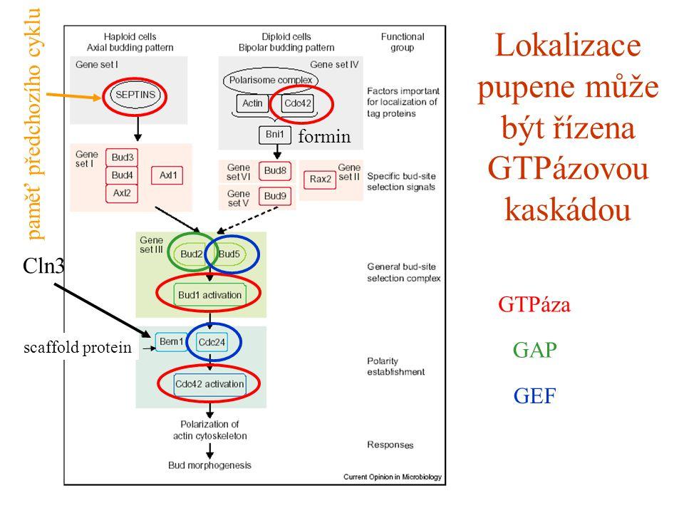 Lokalizace pupene může být řízena GTPázovou kaskádou GAP GEF GTPáza scaffold protein Cln3 formin paměť předchozího cyklu