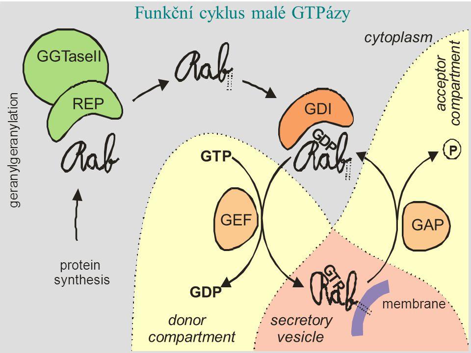 cytoplasm secretory vesicle donor compartment a c c e p t o r c o m p a r t m e n t Funkční cyklus malé GTPázy