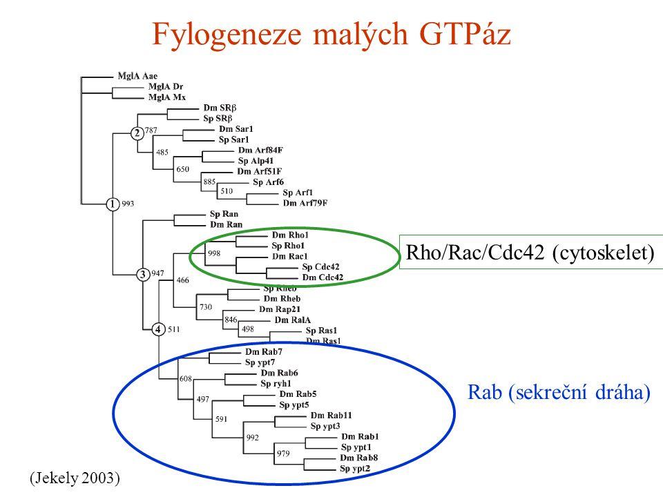 Fylogeneze malých GTPáz (Jekely 2003) Rab (sekreční dráha) Rho/Rac/Cdc42 (cytoskelet)