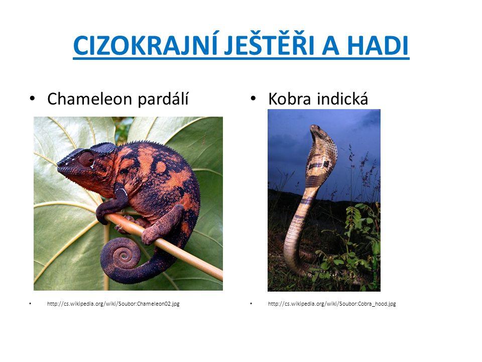 CIZOKRAJNÍ JEŠTĚŘI A HADI Chameleon pardálí http://cs.wikipedia.org/wiki/Soubor:Chameleon02.jpg Kobra indická http://cs.wikipedia.org/wiki/Soubor:Cobr