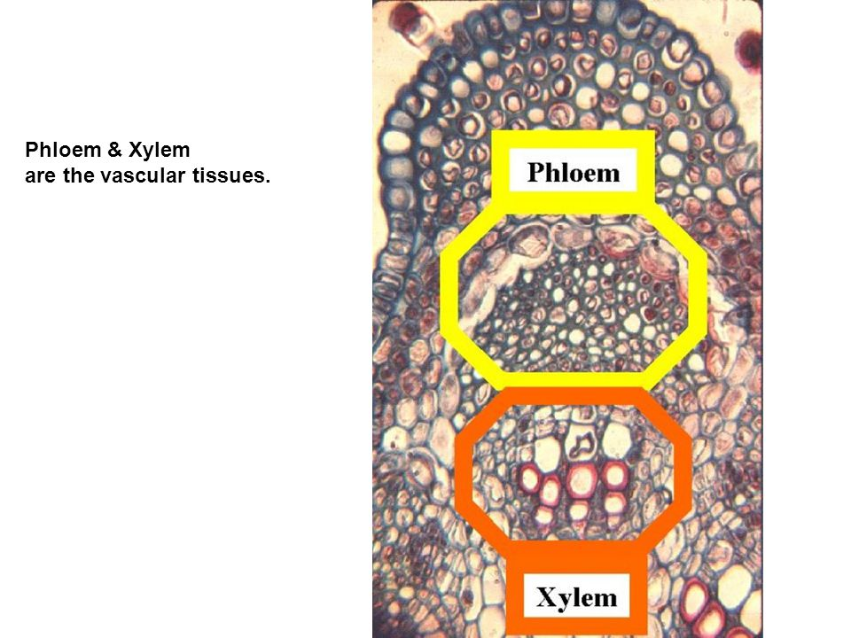 Phloem & Xylem are the vascular tissues.