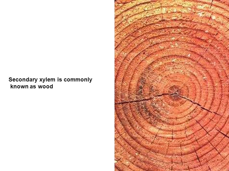 Secondary xylem is commonly known as wood
