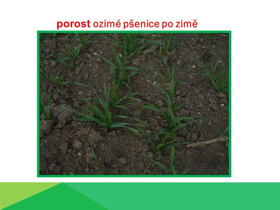 porost ozimé pšenice po zimě