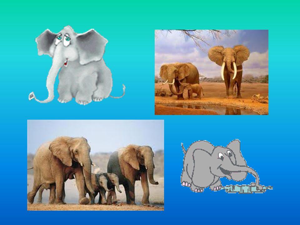Druhy Slon africký je savec z řádu chobotnatců.