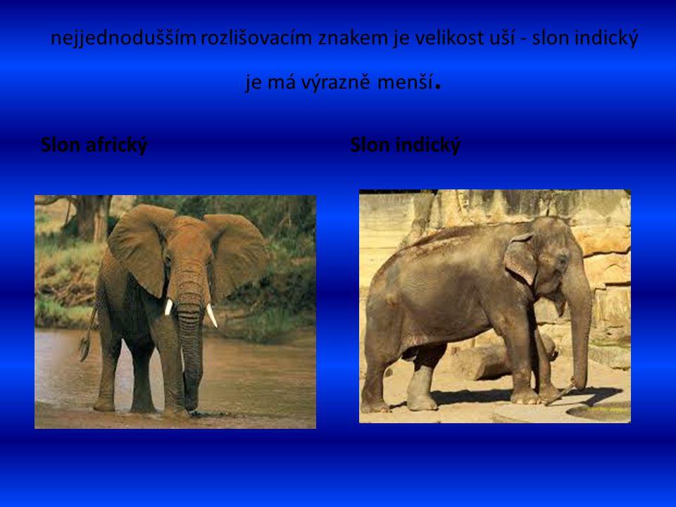 nejjednodušším rozlišovacím znakem je velikost uší - slon indický je má výrazně menší. Slon africkýSlon indický