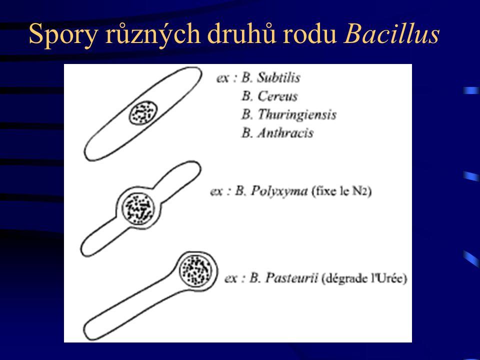 Spory různých druhů rodu Bacillus