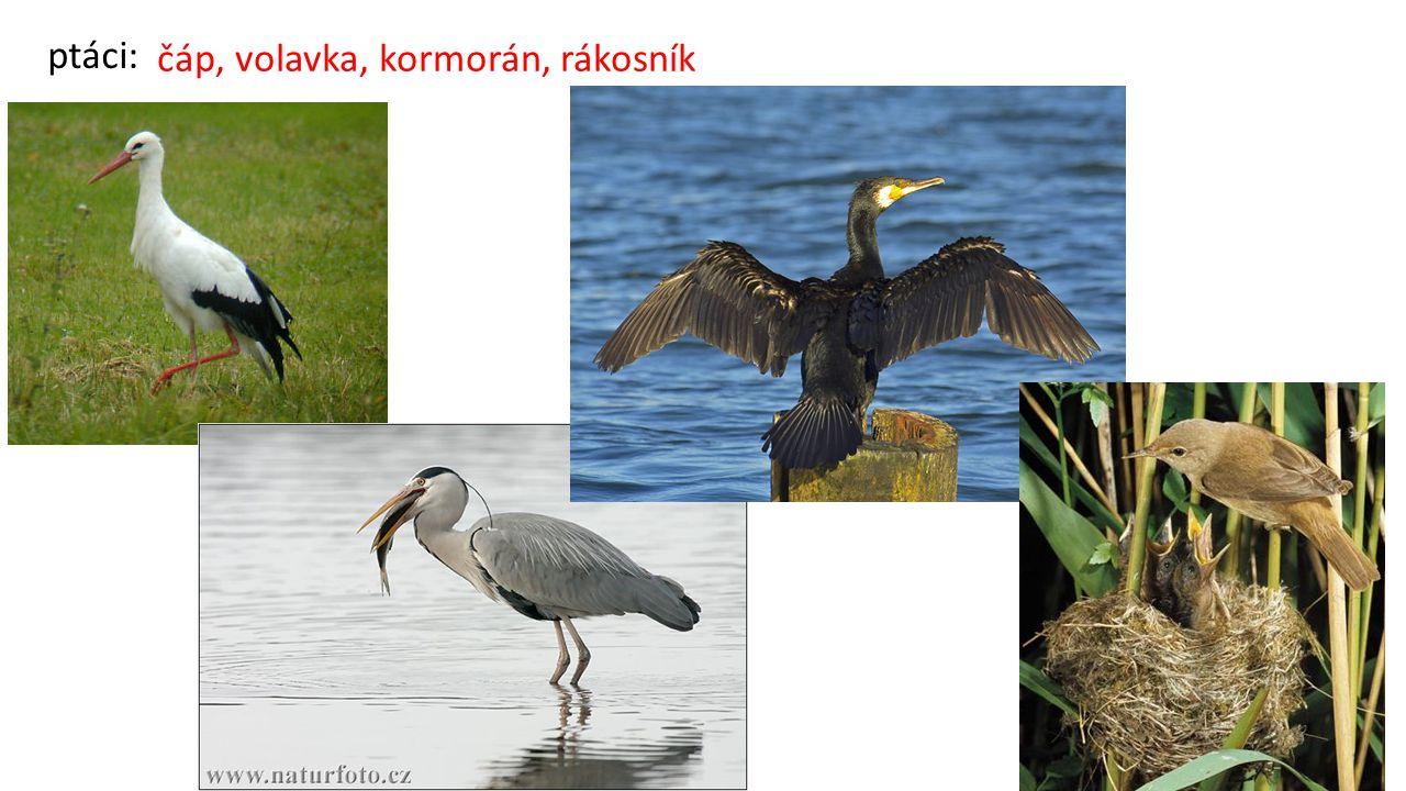 ptáci: čáp, volavka, kormorán, rákosník