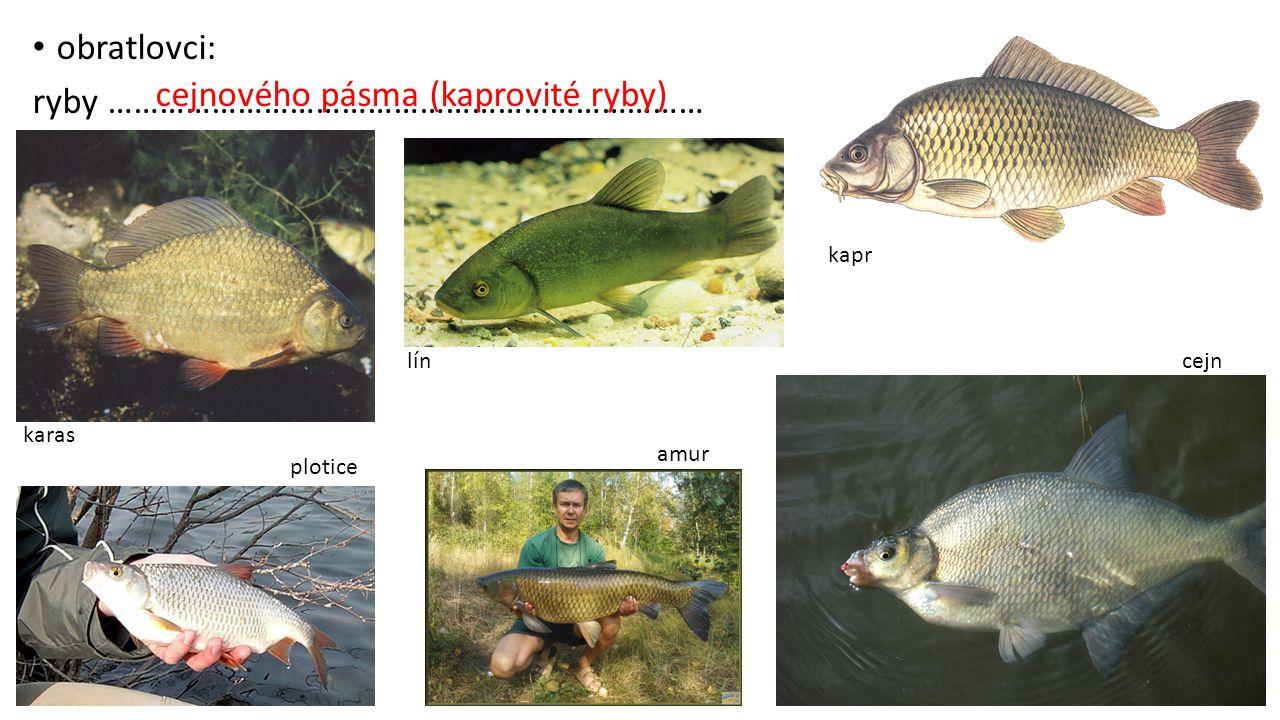 obratlovci: ryby …………………………………………………………… karas lín kapr plotice amur cejn cejnového pásma (kaprovité ryby)