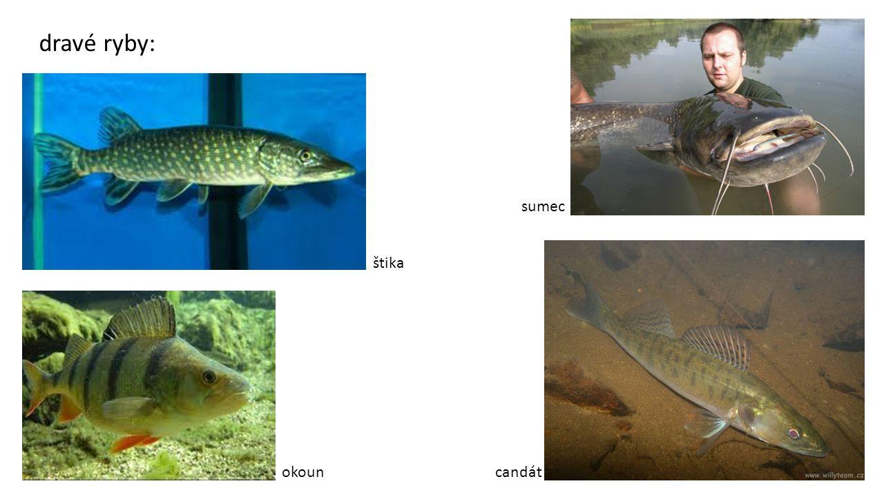 dravé ryby: štika sumec okouncandát