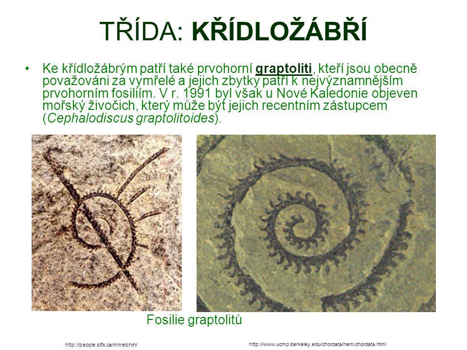 TŘÍDA: KŘÍDLOŽÁBŘÍ Ke křídložábrým patří také prvohorní graptoliti, kteří jsou obecně považováni za vymřelé a jejich zbytky patří k nejvýznamnějším prvohorním fosiliím.