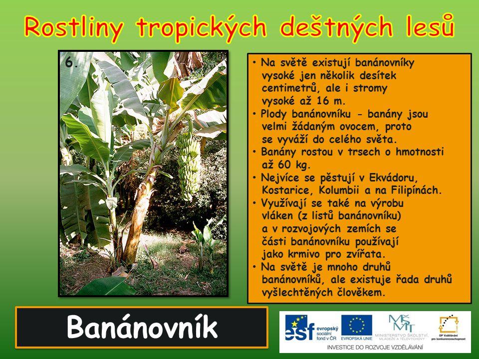Banánovník 6. Na světě existují banánovníky vysoké jen několik desítek centimetrů, ale i stromy vysoké až 16 m. Plody banánovníku - banány jsou velmi