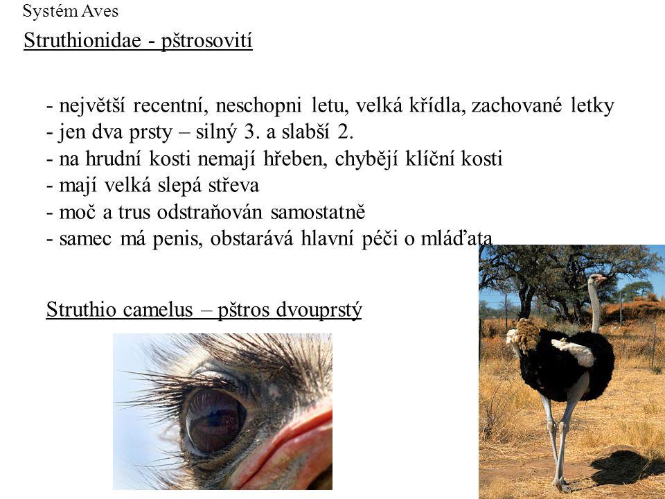 Systém Aves Struthionidae - pštrosovití - největší recentní, neschopni letu, velká křídla, zachované letky - jen dva prsty – silný 3. a slabší 2. - na