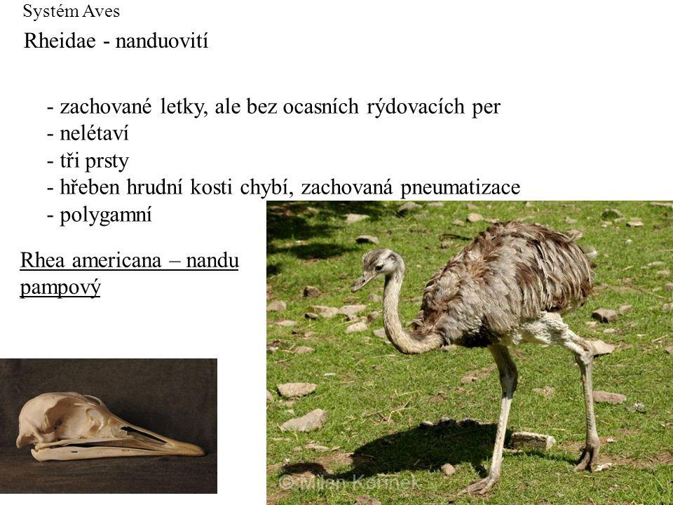 Systém Aves Rheidae - nanduovití - zachované letky, ale bez ocasních rýdovacích per - nelétaví - tři prsty - hřeben hrudní kosti chybí, zachovaná pneu