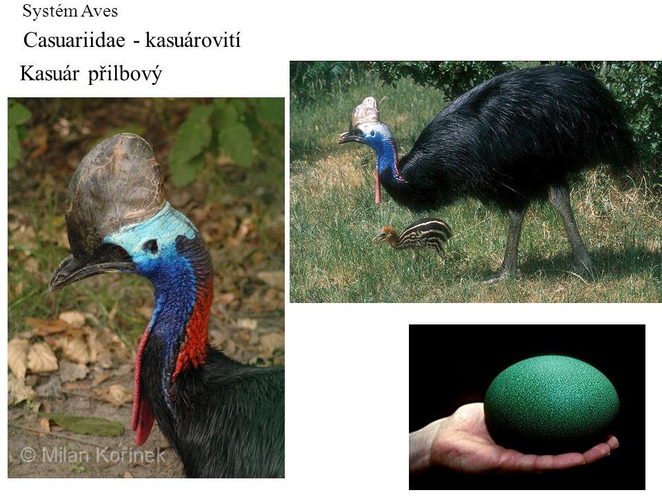 Systém Aves Casuariidae - kasuárovití Kasuár přilbový