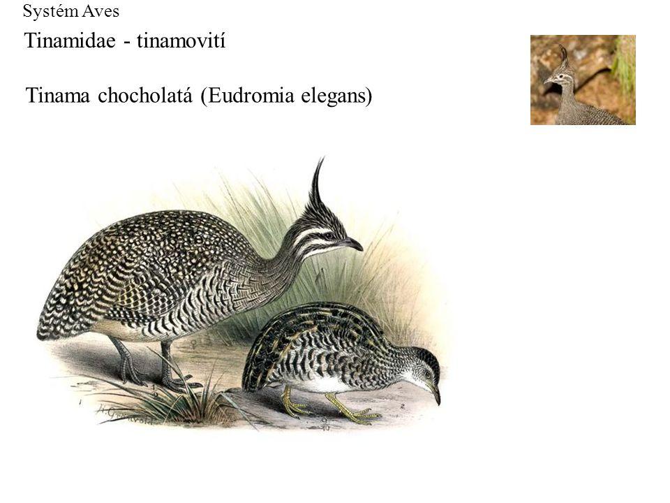 Systém Aves Tinamidae - tinamovití Tinama chocholatá (Eudromia elegans)