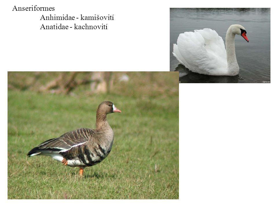 Anseriformes Anhimidae - kamišovití Anatidae - kachnovití