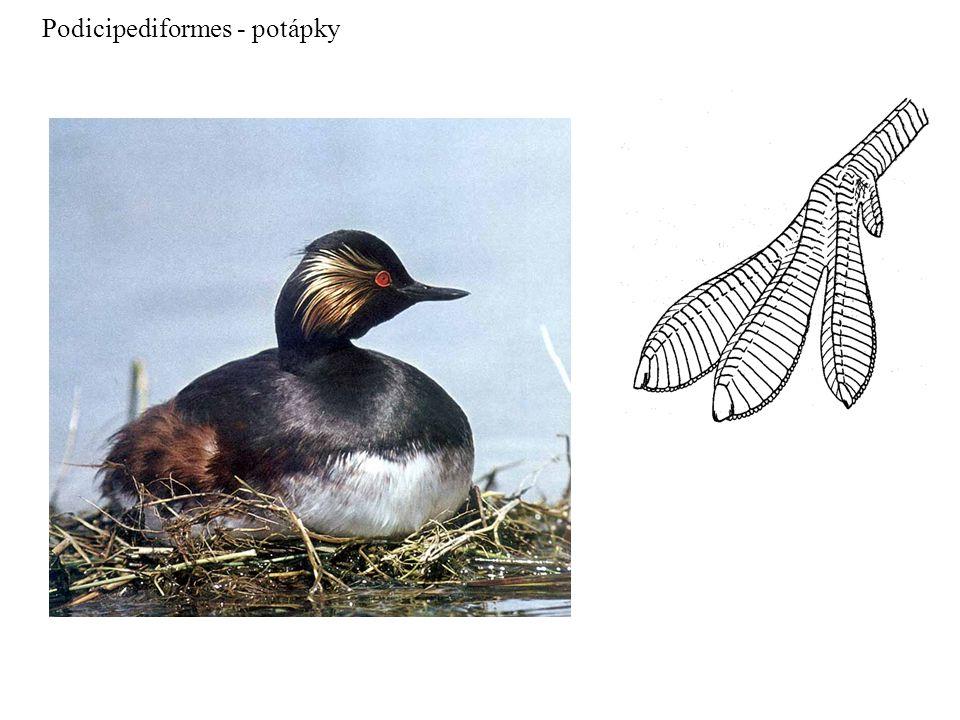 Podicipediformes - potápky