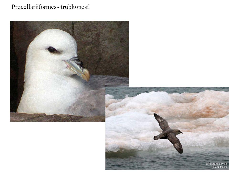 Procellariiformes - trubkonosí