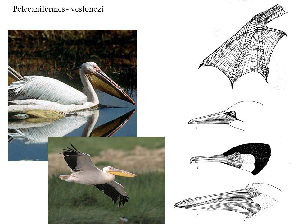 Pelecaniformes - veslonozí