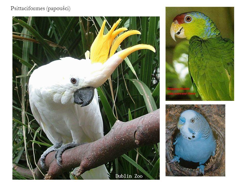 Psittaciformes (papoušci)