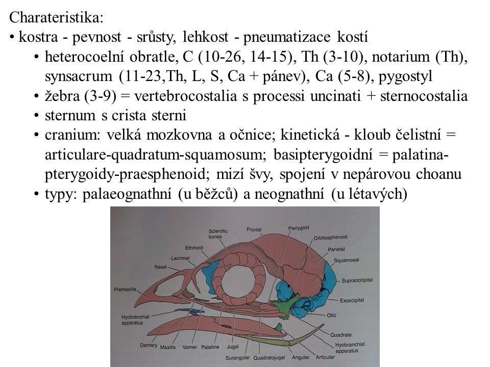 Charateristika: kostra - pevnost - srůsty, lehkost - pneumatizace kostí heterocoelní obratle, C (10-26, 14-15), Th (3-10), notarium (Th), synsacrum (1