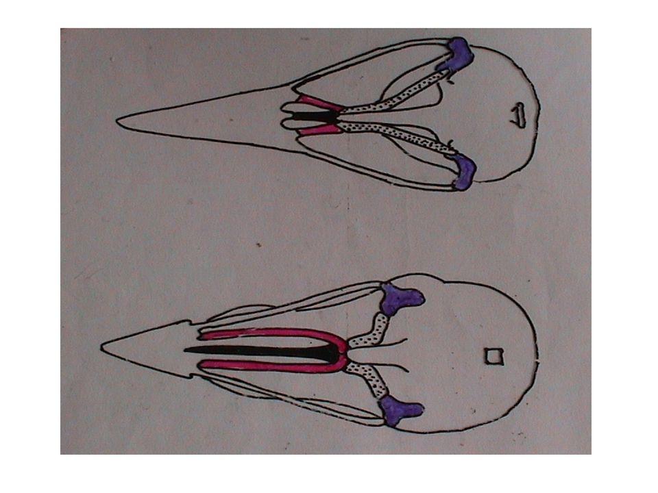 Charateristika: kostra - pevnost - srůsty, lehkost - pneumatizace kostí končetiny: a) křídlo - scapula + procoracoid + furkula (srostlé claviculy); /humerus/ - /ulna + radius/ - /radiale-C5 + ulnare-M5/ - /carpometacarpus - C1-4, M1,2,4 + M3/ - prsty: 1.
