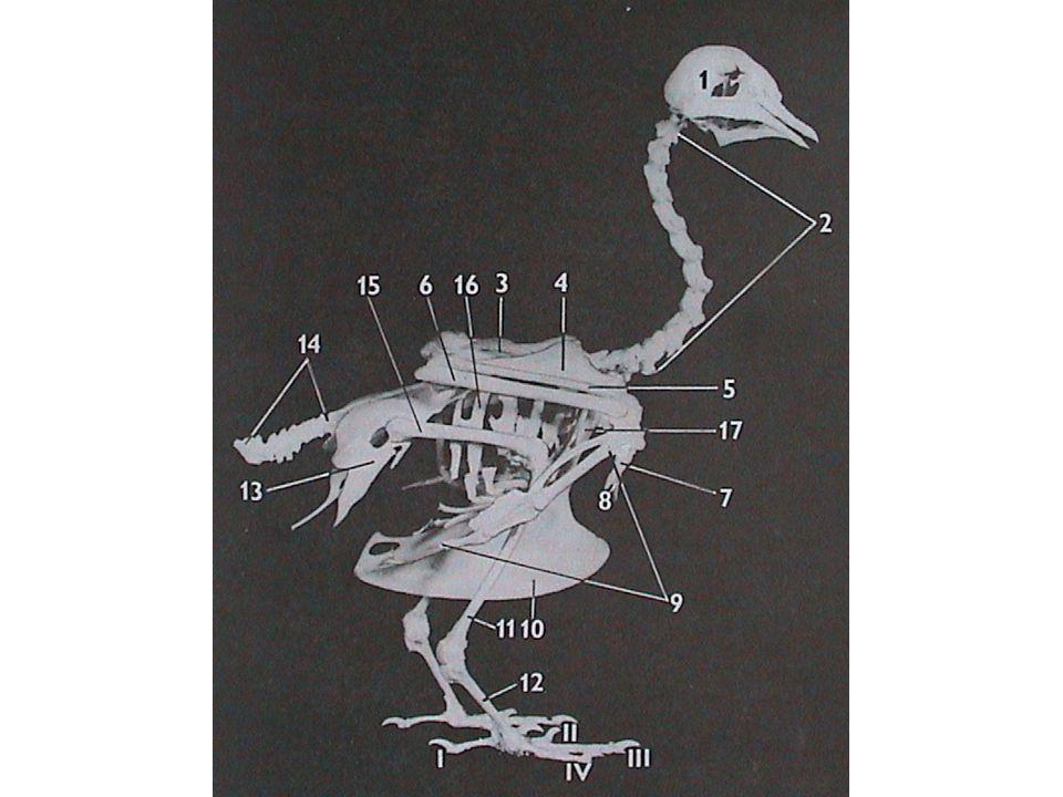 Systém Aves Rheidae - nanduovití - zachované letky, ale bez ocasních rýdovacích per - nelétaví - tři prsty - hřeben hrudní kosti chybí, zachovaná pneumatizace - polygamní Rhea americana – nandu pampový