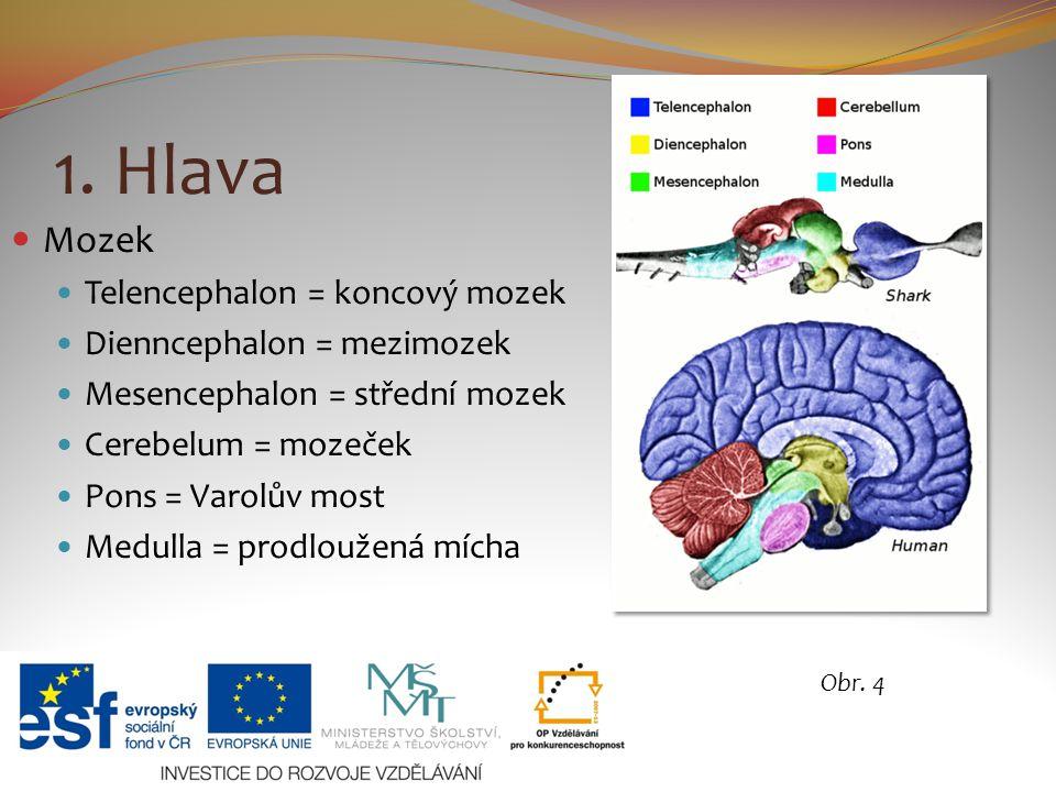 1. Hlava Mozek Telencephalon = koncový mozek Dienncephalon = mezimozek Mesencephalon = střední mozek Cerebelum = mozeček Pons = Varolův most Medulla =