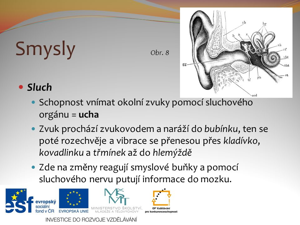 Smysly Sluch Schopnost vnímat okolní zvuky pomocí sluchového orgánu = ucha Zvuk prochází zvukovodem a naráží do bubínku, ten se poté rozechvěje a vibr